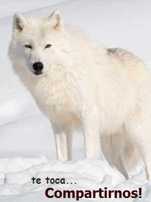 Qué comen los lobos? » LOBOPEDIA