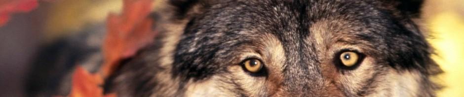LOBOPEDIA » Lobos. Enciclopedia Ilustrada