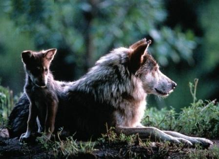 loba y cria