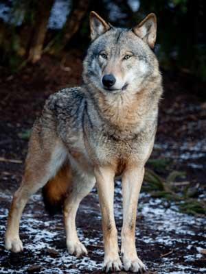 lobo parado