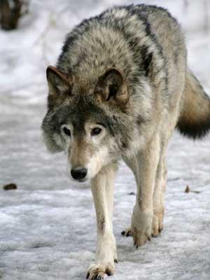 lobo 4
