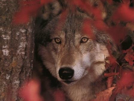 lobo en la selva