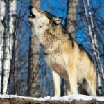 lobo aullando