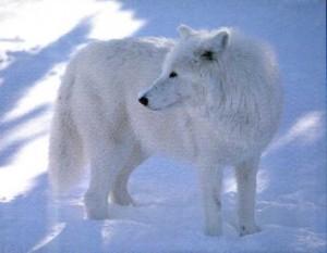 lobo artico (2)
