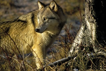 lobo del este 1
