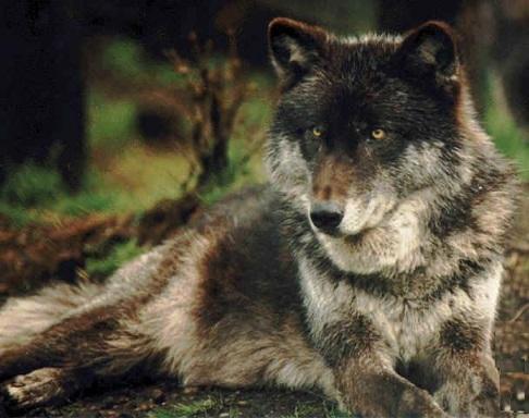 lobo del este