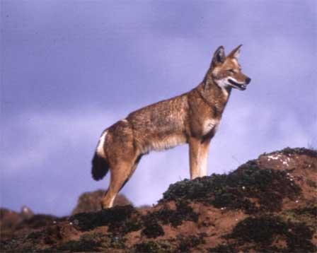 lobo etiope 1