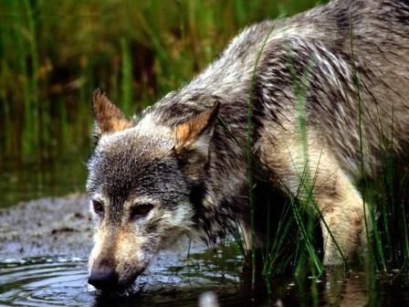 Los Lobos En Peligro De Extinción Lobopedia
