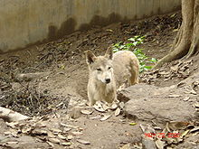 lobo himalayo 1