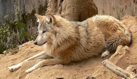lobo himalayo