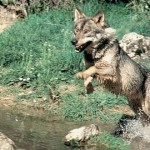 lobo iberico 1