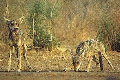 lobo indio 1