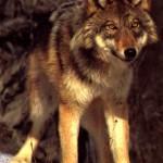 lobo rojo 1