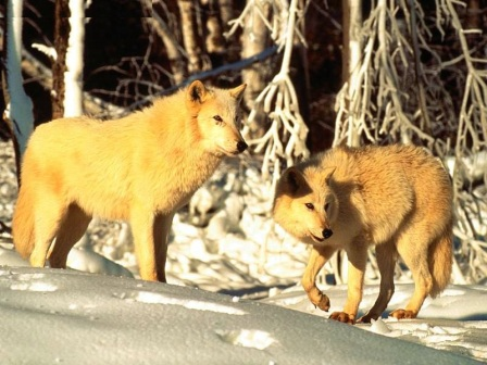 Lobo ártico » LOBOPEDIA